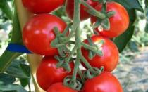 pomodoro orticoltura biologica